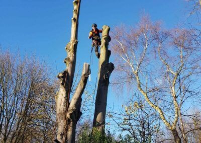 01122017 Sycamore Tree Removal Swinton On Tree 2