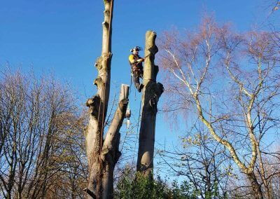 01122017 Sycamore Tree Removal Swinton On Tree