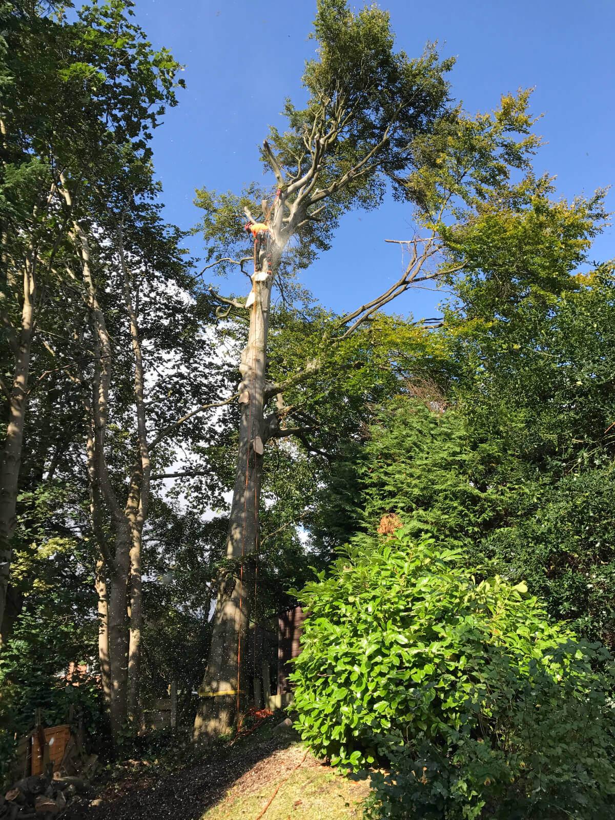 Beech Tree Removal Prestwich 1
