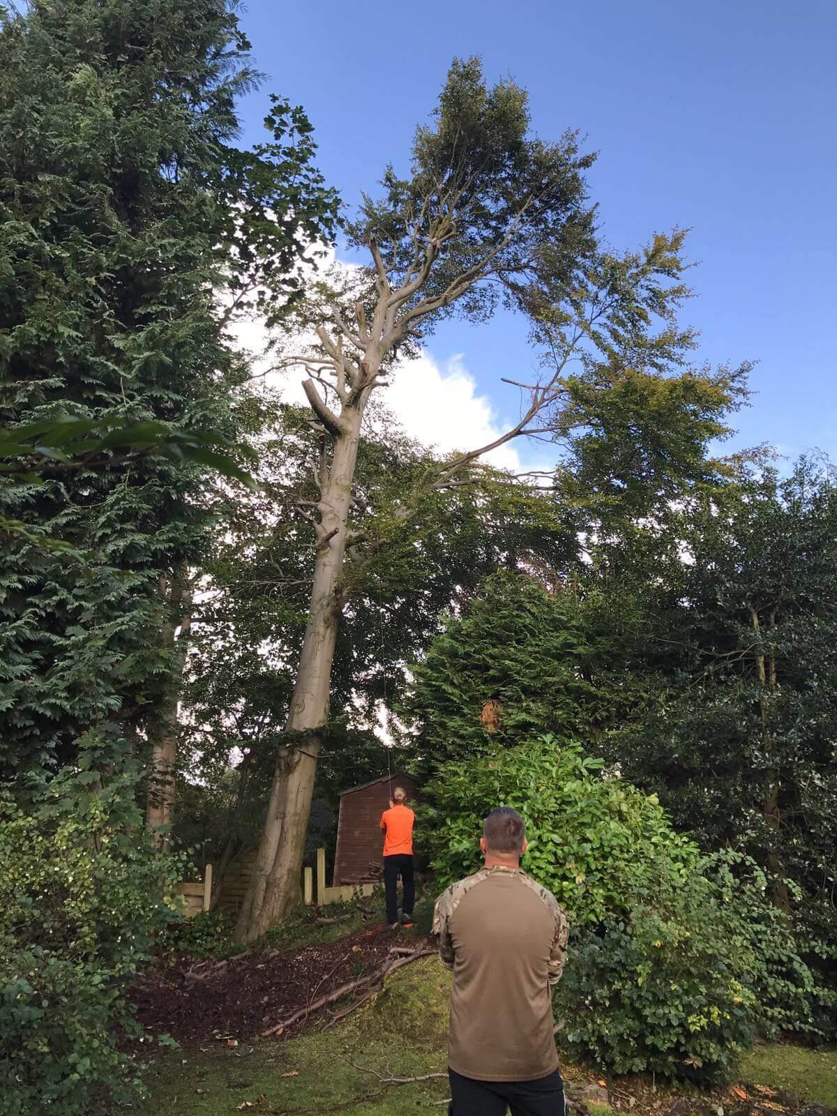 Beech Tree Removal Prestwich 2