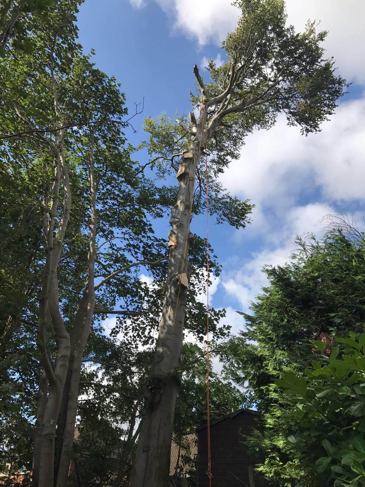 Beech Tree Removal Prestwich 3