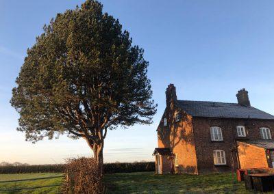 Pine tree felling Ashley, Manchester – 17.12.2018.