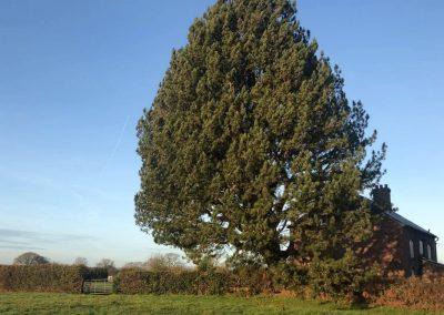 17122018 pine tree felling Ashley Manchester 3