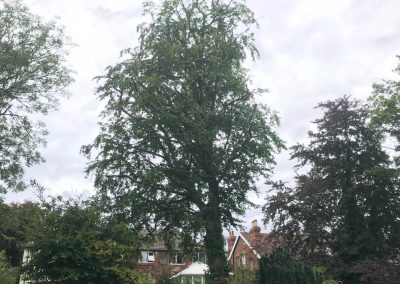 Large beech tree crown reduction Birkenhead, Cheshire – 21.08.2019.