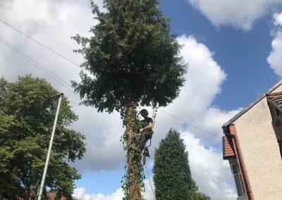 Complete conifer removal Chorlton, Manchester – 04.09.2019.