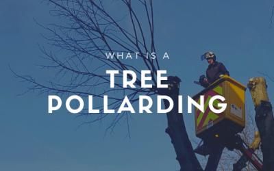 What is tree pollarding?
