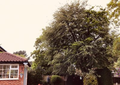 Beech tree crown reduction Sandbach, Cheshire – 22.05.2019.